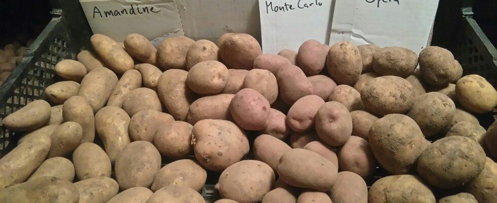 Fyra olika potatissorter